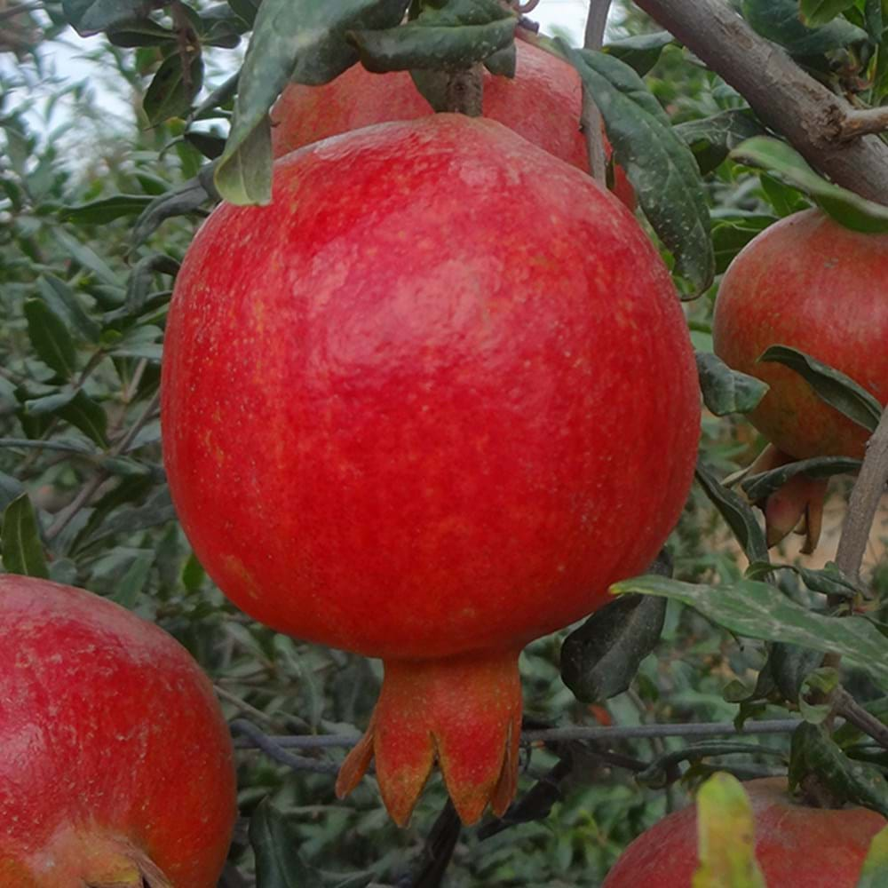 Pomegranate - Growing & Harvesting