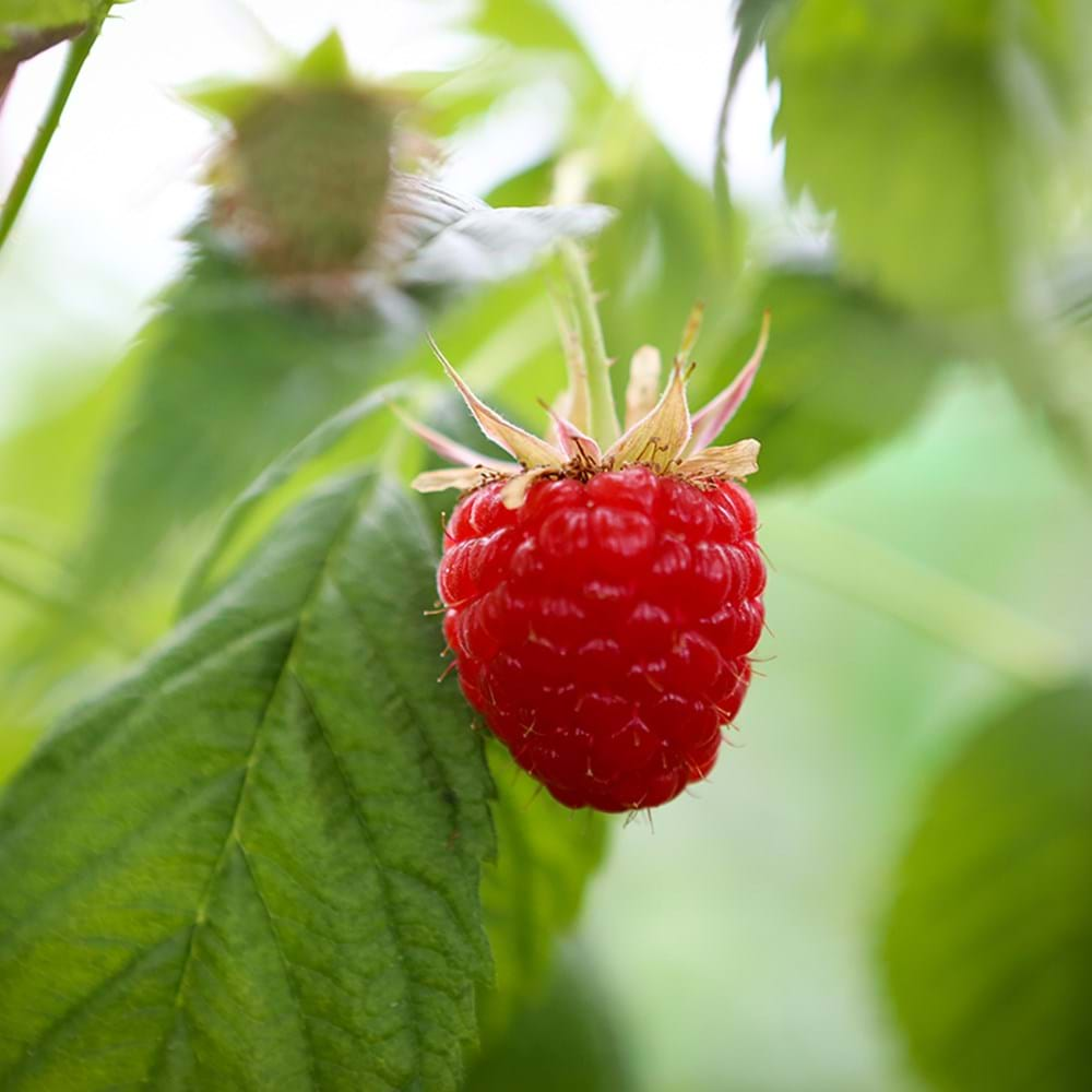 Raspberries - Growing & Harvesting
