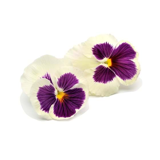 Tricolor Violet - Product photo