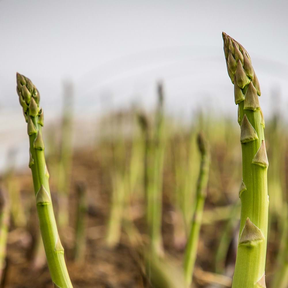 Green Asparagus Tips - Growth And Harvest