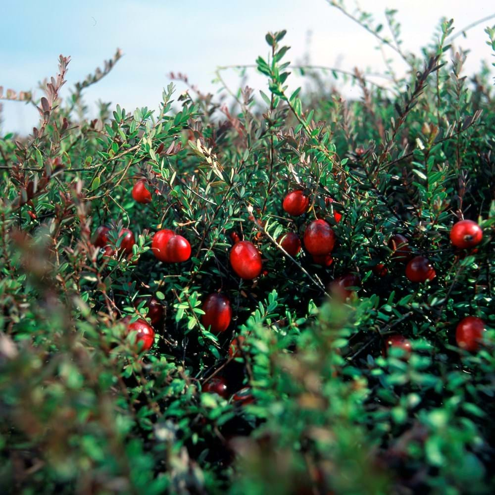 Cranberries - Growing & Harvesting